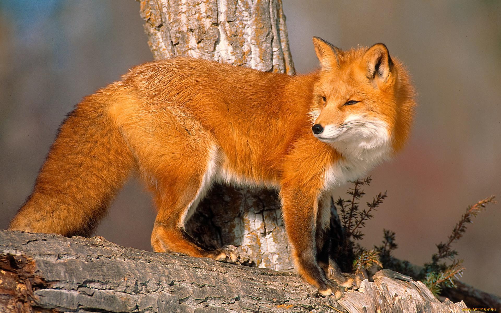 они дают фото лисички животного сайт